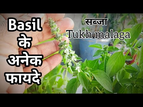 How To Basil Tukh Malanga Plant Grow And Care सब ज प ल ट क अनग नत फ यद Healthy Properties Youtube