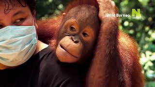 Viasat Nature HD - Дикий Борнео