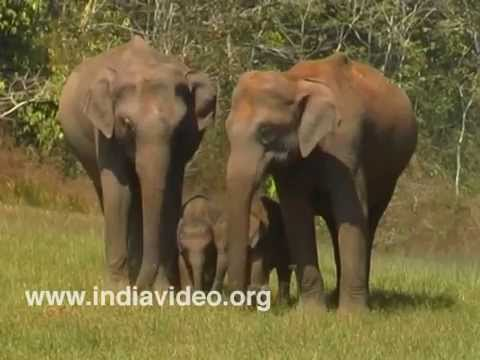 Elephant herd at Chinnar Wildlife Sanctuary in Munnar