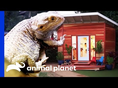 Ike and Tina The Bearded Dragons Get A Stunning Clubhouse | Animal Cribs