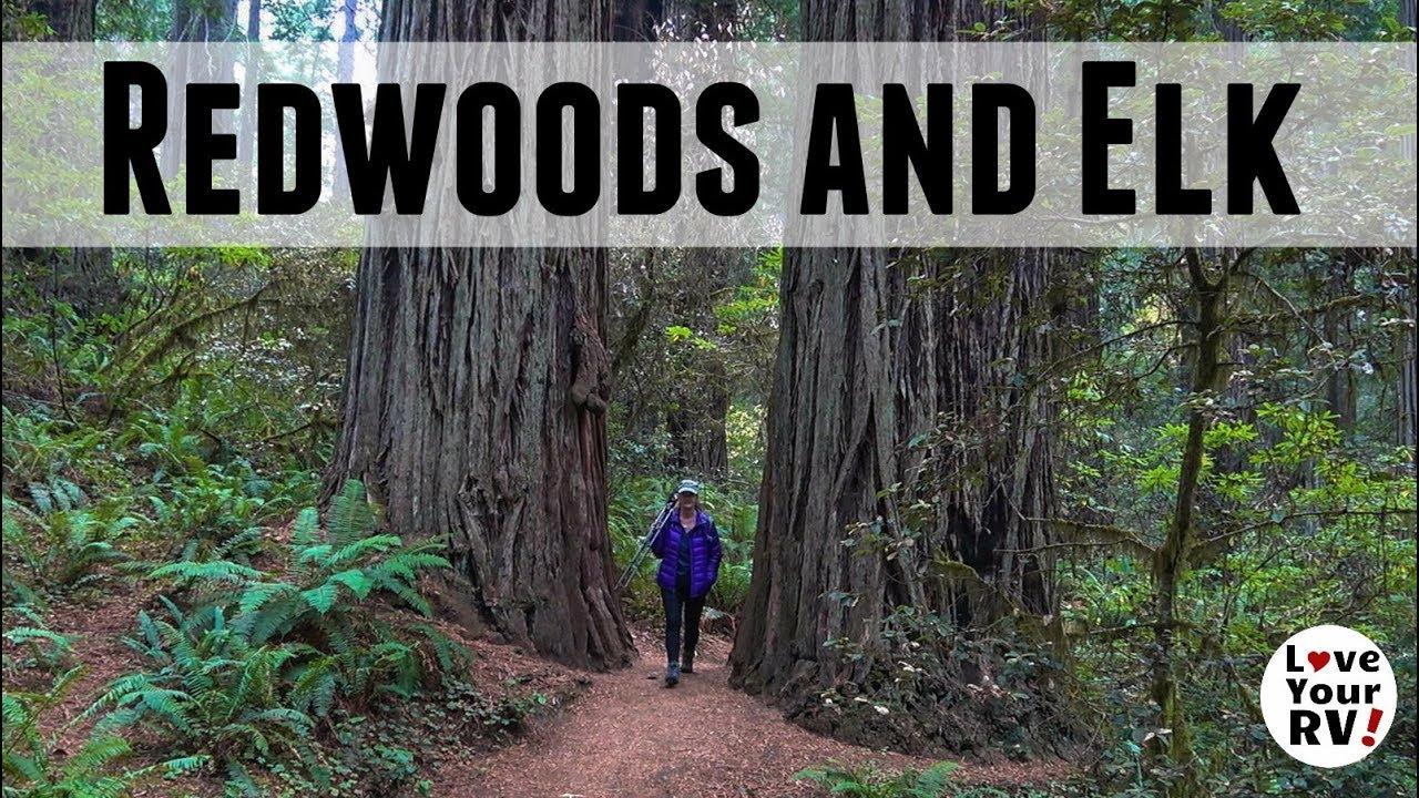 elk-giant-redwoods-elk-and-more-elk