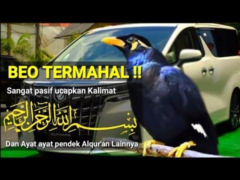 Burung Beo Nias Termahal Jago Pintar Tirukan Suara Orang Baca Alqur An Bernyanyi Youtube