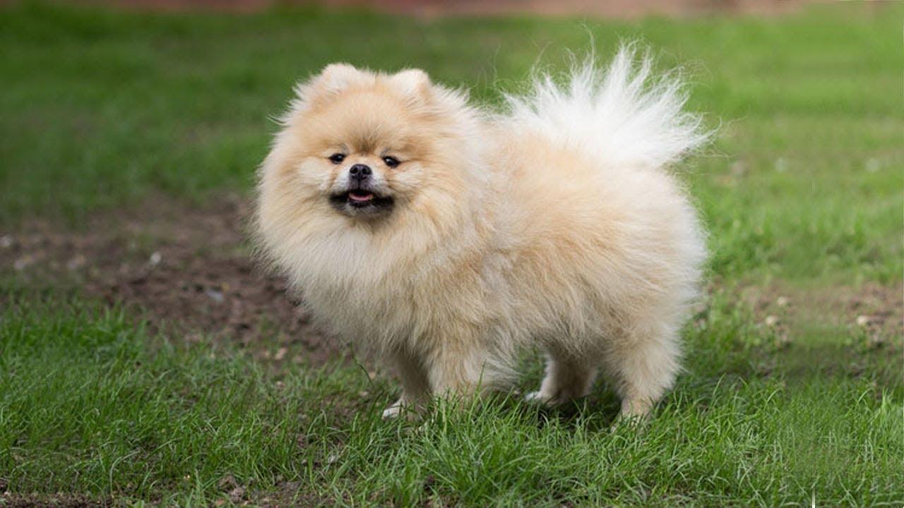 Top 10 Cuddly Fluffy Dog Breeds You