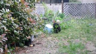 我が家の可愛いポーチュギーズウォータードッグの遊ぶ様子です.