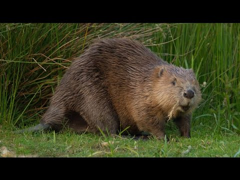 Where to see beavers in the UK | Wild Britain