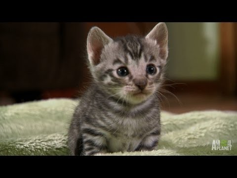 Thumbnail for Cat Video Toygers on the Prowl | Too Cute!