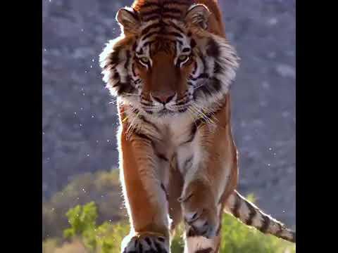 New status tiger ringtone