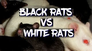 There's a huge difference between black and white rats!