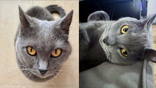 CHARTREUX CATS 2021