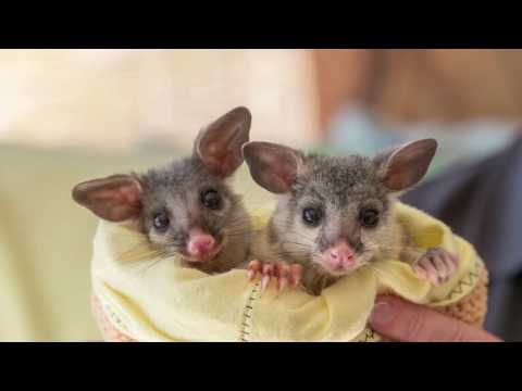 How WIRES-Australia's Leading Wildlife Rescue Organization Saves Animals