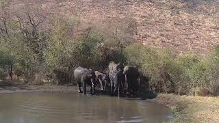 Kwa: Elephants drinking and then into the field - 15:13 - 08/18/19