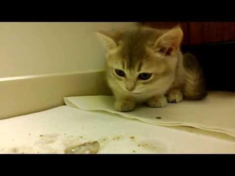 Kitten eats whole raw herrings