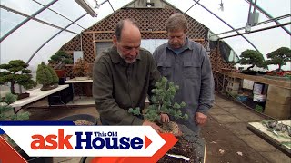 How to Create Bonsai from Regular Trees | Ask This Old House
