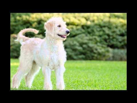 Goldendoodle/Goldendoodle (порода собак HD slide show)!