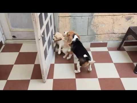 Beagle: charakter, pielęgnacja i predyspozycje do chorób