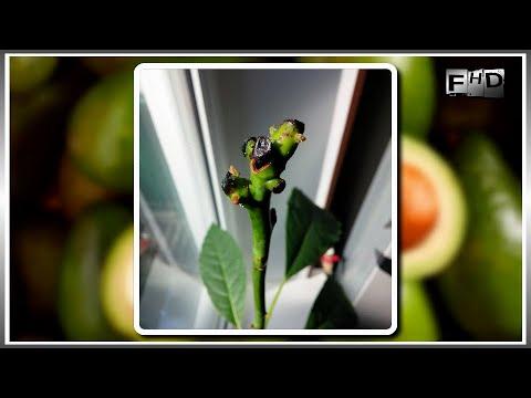 Как растёт дерево авокадо в домашних условиях, принцип роста