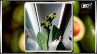 видео Як використовувати кісточку від авокадо