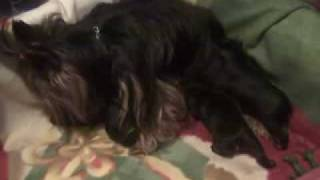 Yorkshire Terrier Puppies Drinking Milk, Yorkie Eating, Hungry Puppies! Chiots Qui Boivent Du Lait
