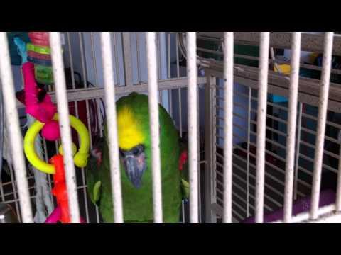 Amazon Parot    Попугай Гоша  IMG_3312.MOV