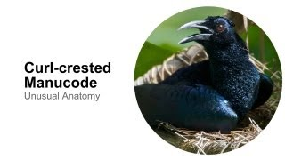 Curl-crested Manucode: Unusual Anatomy