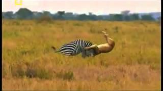 Aslanlar zebrayı yiyor