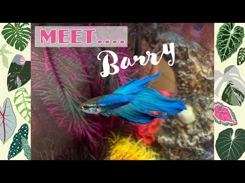 Barry The Betta 💙🐠New Aquarium 🐟biOrb LIFE 45 MCR Set Up
