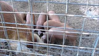 Red Wattle Pigs And New Year Dinner