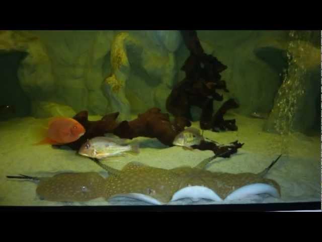 Rochen Scobina Aquarium - Stingray Scobina tank