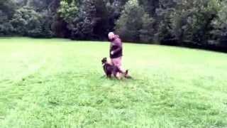 "Beautiful German Shepherd ""waylon"" Obedience Protection Trained Dog For Sale"