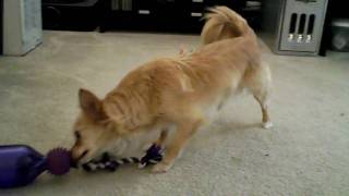 Hoshi Playing With Busy Buddy Tug-a-jug Treat Dispensing Dog Toy