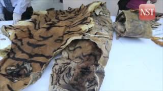 Perhilitan seizes RM100,000 worth of animal parts