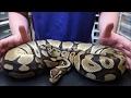 Pastel het axanthic ball python, the beginning of actual breeding plans.