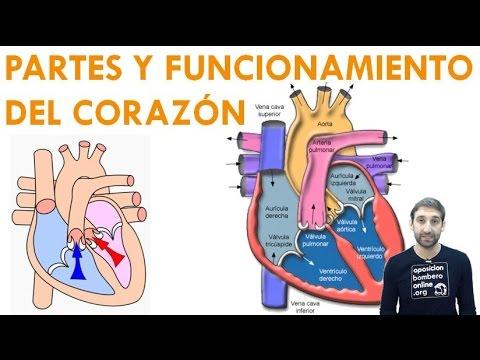 PARTES Y FUNCIONAMIENTO DEL CORAZON - YouTube