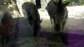 Zebra (zebra, UK: Zebra) is Mammalia Order Perissodactyla Equidae E...
