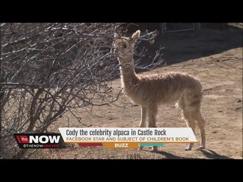 Cody The Alpaca is a Colorado celebrity