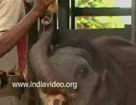 Feeding the baby at Kodanad elephant training centre