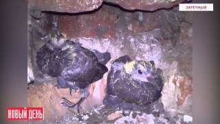 Птенцы голубей в кухонной вентиляции