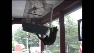 Crazy cat attempts to get into birdcage