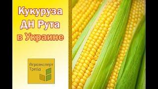 Кукуруза ДН Рута в Украине