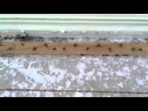 Bed Bugs Found Under the Carpet in Phoenix AZ