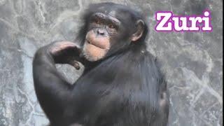 チンパンジー グレン家族 15頭となりました chimpanzees Los Angeles Zo...