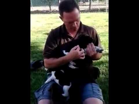 Black Sage German Shorthaired Pointer Puppies Part 3