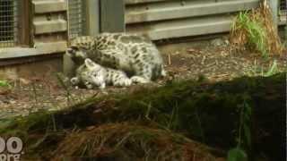 Kar leoparı yavruları - vahşi doğa
