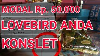 Mencoba Pakan Racikan Lovebird Konslet Dengan Modal Rp. 50.000