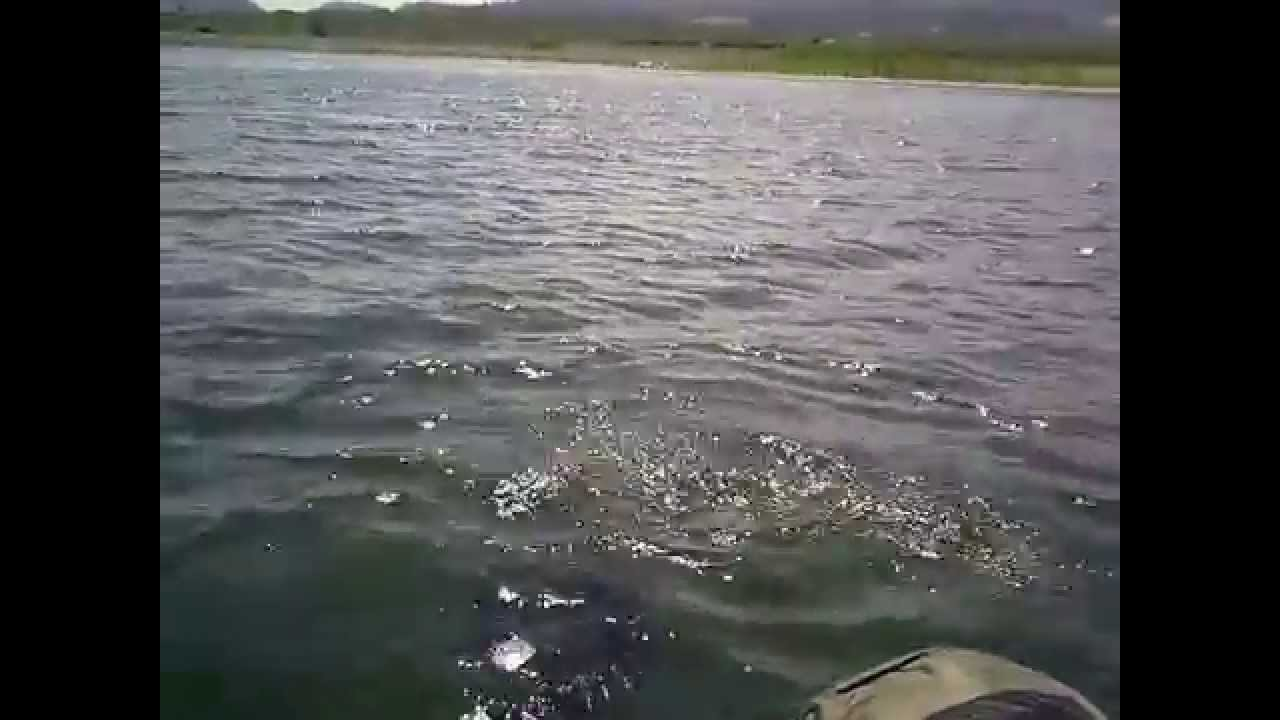 Crowley lake purch fry on the run 2015 youtube for Lake skinner fish report