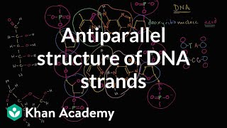Antiparallel Structure Of DNA Strands