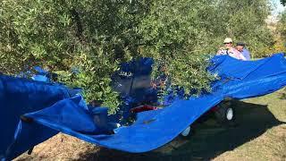 Raccolta delle olive 2017 - Azienda Conte Leopardi