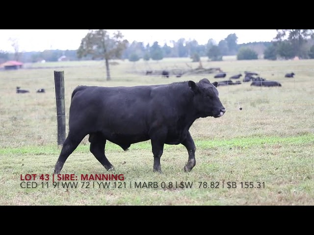 Edgewood Angus Lot 43