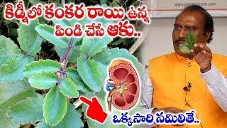 కిడ్నీలో కంకరరాయి ఉన్న పిండిచేసే ఆకు| Miracle Leaf for Kidney Stones | Ranapala Aaku