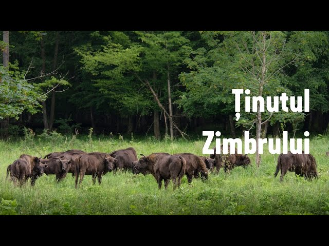 Ținutul Zimbrului / The Land of Bisons